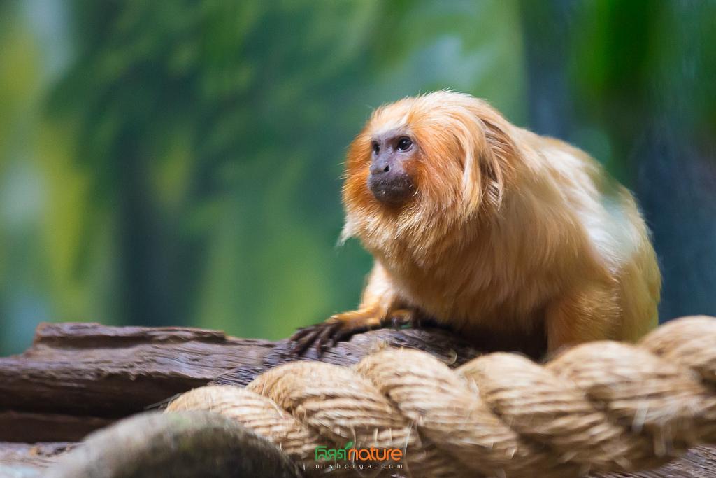 সোনালি সিংহ তামারিন - Golden Lion Tamarin