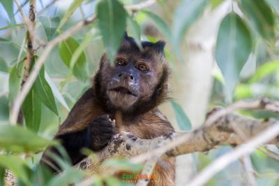 হুডেড ক্যাপুচিন (Hooded Capuchin)